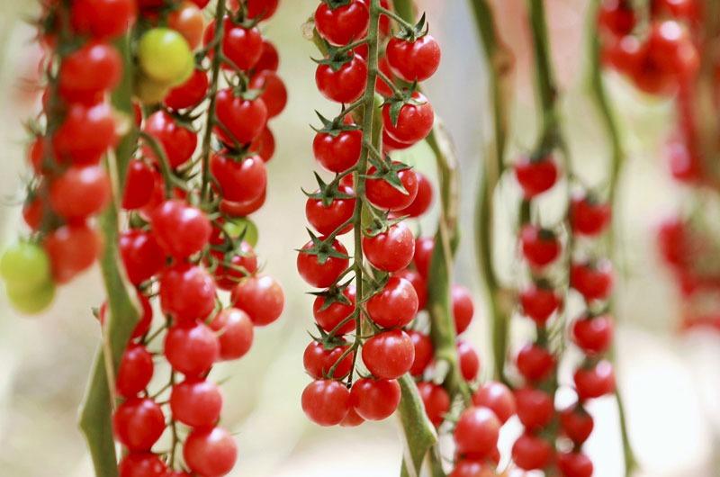 Photo de plusieurs grappes de tomates cocktail rouge