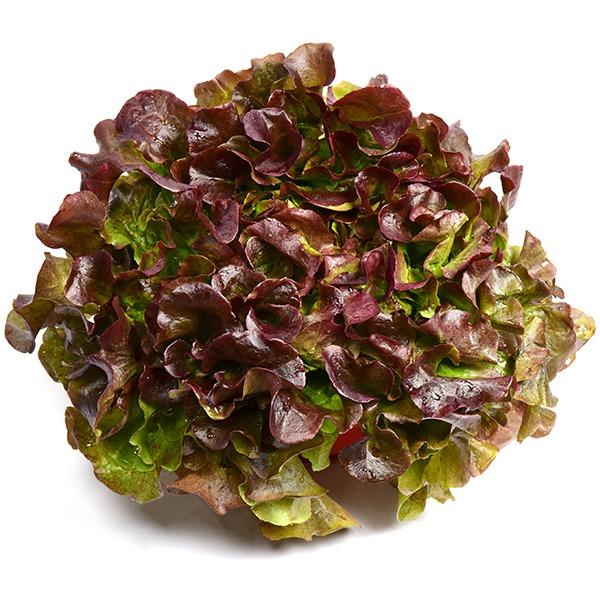 Photo d'une salade feuille de chêne rouge
