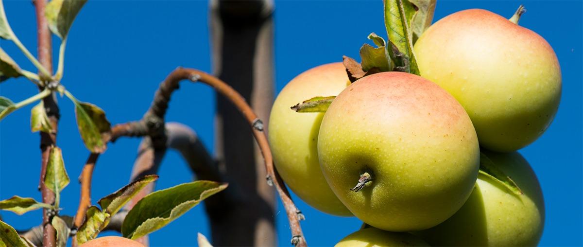 Photo de pommes bio sur un pommier dans un verger avec un ciel bleu