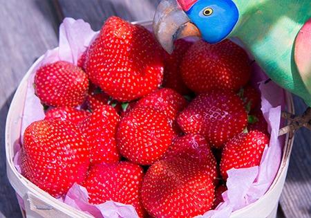 Photo de fraises bio Idyl dans un panier