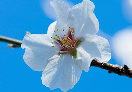 Photo d'une fleur d'amandier