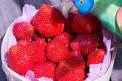 Photo de fraises de provence Tribu écolo
