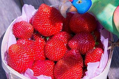 Photo de fraises de Provence Idyl