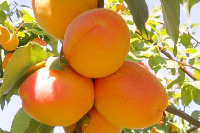 Abricots de Provence par Idyl
