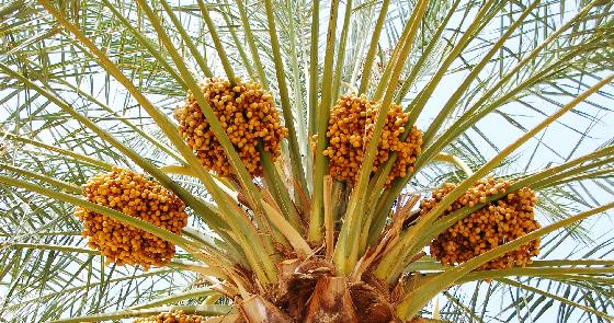 Dattes Mejhoul Filali Maroc les riads du tafilalet